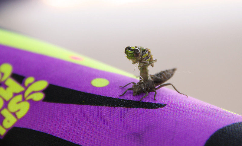 Lucky for this guy, Logan spotted him before grabbing the squirt gun! We got to watch a dragonfly go from its nymph stage, to its adult stage! Nature is amazing.