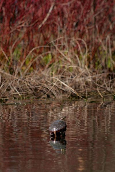 Kayaking around Crooked Lake. Turtle sunbathing on a log.