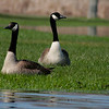 Kayaking around Crooked Lake. What a find, the illusive Canadian Geese. lol