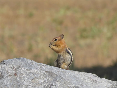P00189_Gold_Mantled_Squirrel