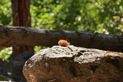 P00003_Well_munched_Pine_Cone