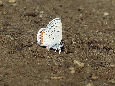 P00036_White_Butterfly