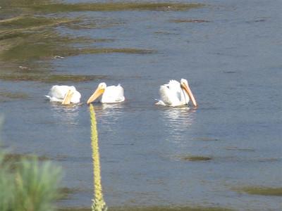 P00186_Pelicans_Three