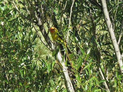 P00063_Yellow_Bird