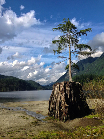 Buntzen Lake Tree