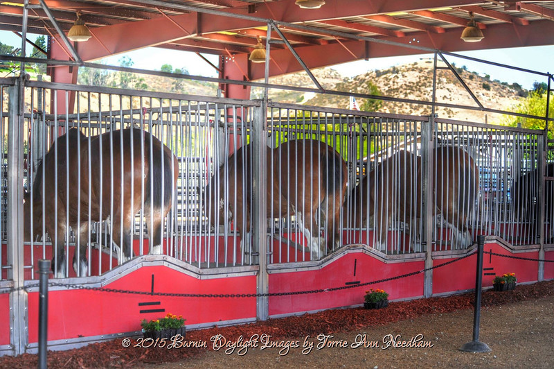 Clydesdales butts drive me nutts.jpg