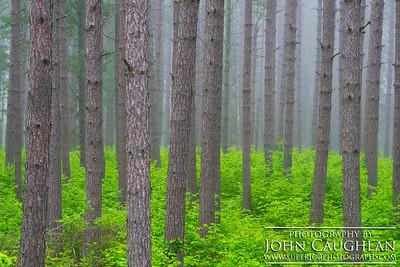 pines(spring1c)