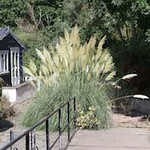 Bridge 1 and Pampas Grass