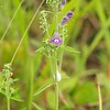 Scutellaria integrifolia, Hyssop Skullcap; Monmouth County, Howell, New Jersey 2012-06-14   2