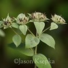Pycnanthemum setosum, Awned Mountain Mint; Ocean County, New Jersey 2014-09-07   4