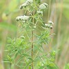 Pycnanthemum virginianum, Common Mountain Mint; Burlington County, New Jersey 2014-08-26   1