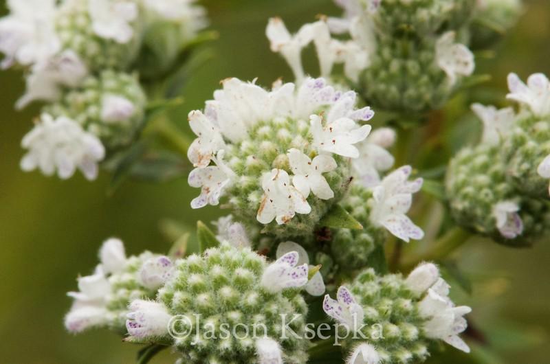 Pycnanthemum virginianum, Common Mountain Mint; Ocean County, New Jersey 2014-09-05