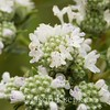 Pycnanthemum virginianum, Common Mountain Mint; Ocean County, New Jersey 2014-09-05