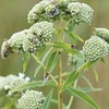 Pycnanthemum virginianum, Common Mountain Mint; Burlington County, New Jersey 2014-08-26   2