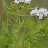 Pycnanthemum tenuifolium, Narrowleaf Mountain Mint; Monmouth County, New Jersey 2014-07-09   7