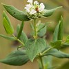 Pycnanthemum muticum, Short-toothed Mountain Mint; Ocean County, New Jersey 2014-09-05   4