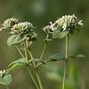 Pycnanthemum setosum, Awned Mountain Mint; Ocean County, New Jersey 2014-09-07   6
