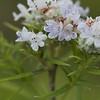 Pycnanthemum tenuifolium, Narrowleaf Mountain Mint; Monmouth County, New Jersey 2014-07-09   10