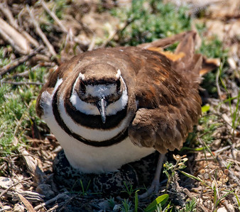 Nesting Bird in Lamoille Canyon