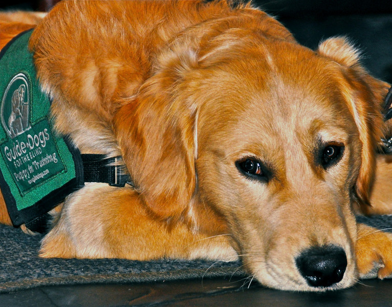 Always a special guest, Al Sevilla's guide dog-in-training, an 11-month-old Golden Retriever named Gaston.
