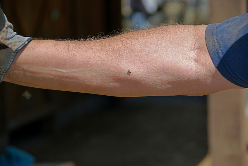 Exhibit A: Fly on Gary Fulcher's forearm. It marked first time all day that only one fly was visible on his arm ... or anywhere else on his body. When Gary entered his car to leave, the cabin was populated by 1,767 flies. We counted every one.