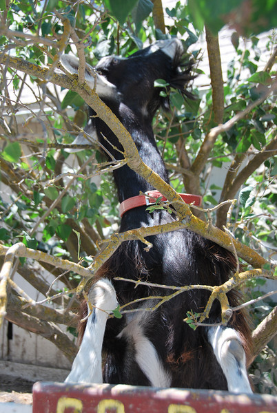 Not an official member of volunteer work team was this goat, busy eating leaves from a tree in nearby corral. His name: Goat. No kidding (there's a pun here; GET IT?).