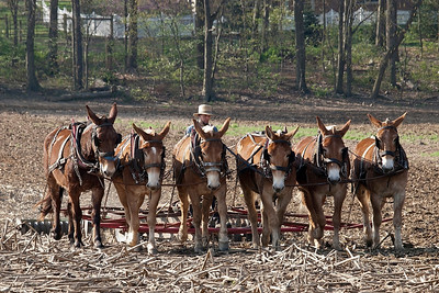 Amish with mule team.