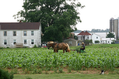 Amish cultivating tobacco