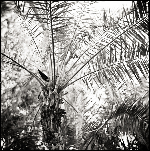 Kraft Azalea Palm, Winter Park, Florida, 2011