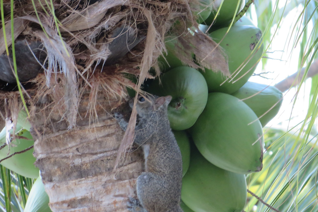 This squirrel was a regular visitor to the palm tree right off our balcony.