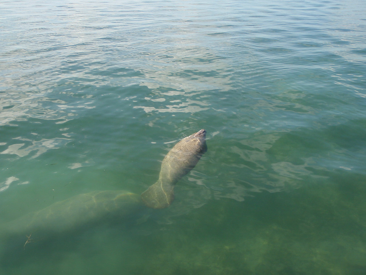 After our sailing excursion ended we walked out on the dock and found some manatees