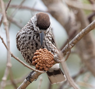 Spotted Nutcracker