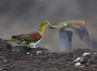 Japanese Green Pigeon