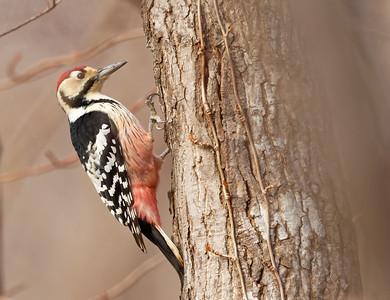 White-backed Woodpecker