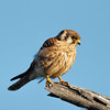 Bob, the Grumpy Kestrel