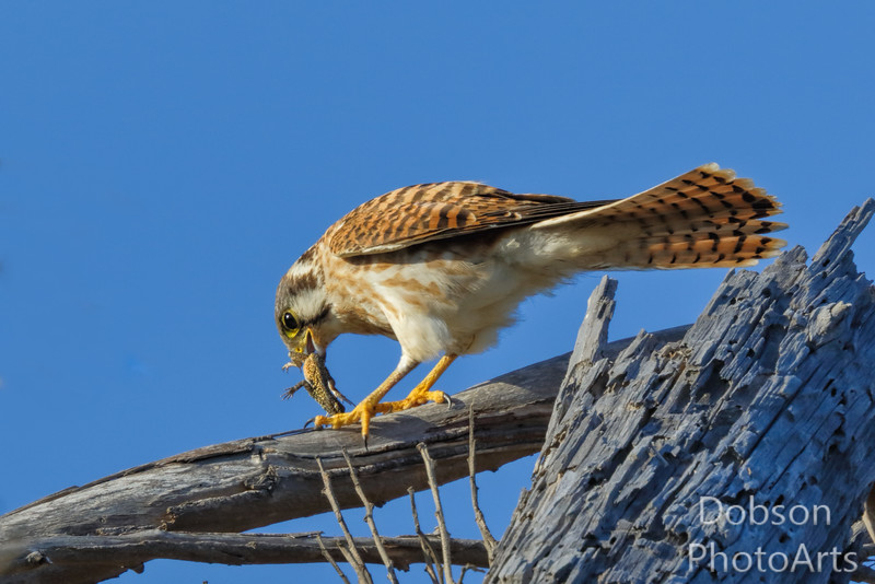 Kestrel  - The Hunter
