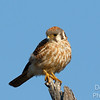 The Kestrel - Always Watching