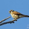 Americn Kestrel waiting for prey to move