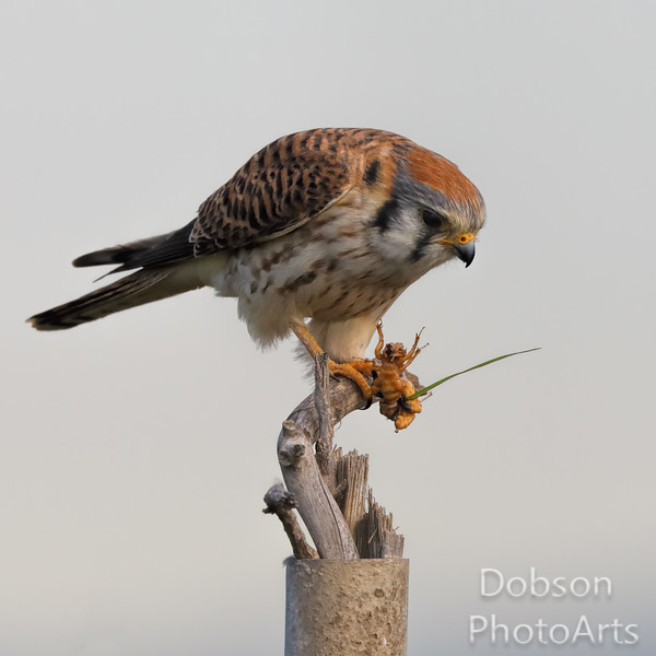 Kestrel and lunch