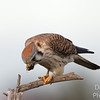 Munching Kestrel