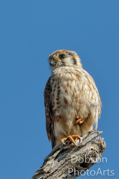 American Kestrel surveying its realm