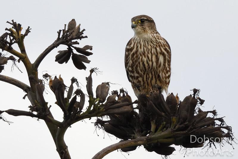 Cooper's Hawk on Alert