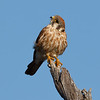 Kestrel Scanning the Sky for Threats