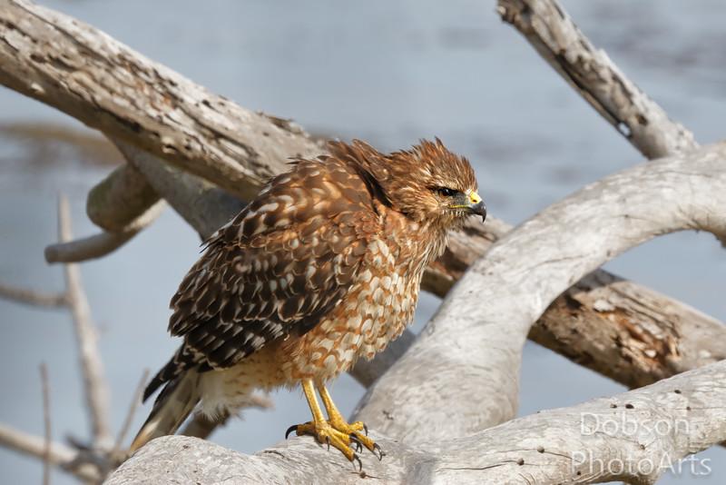 Red-Shouldered Hawk Taking a Little Fluff-time