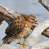 Red-Shouldered Hawk Taking a Little Fluff-time