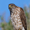 Immature Northern Harrier