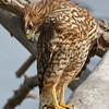 Red-Shouldered Hawk searching the shore for prey