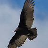 Turkey Vulture on the Hunt