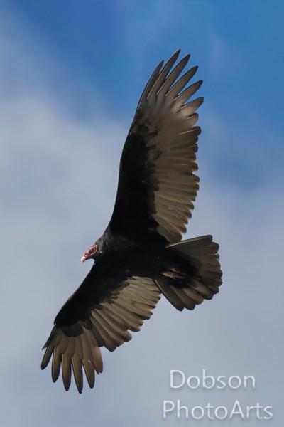 Turkey Vulture on the Hunt
