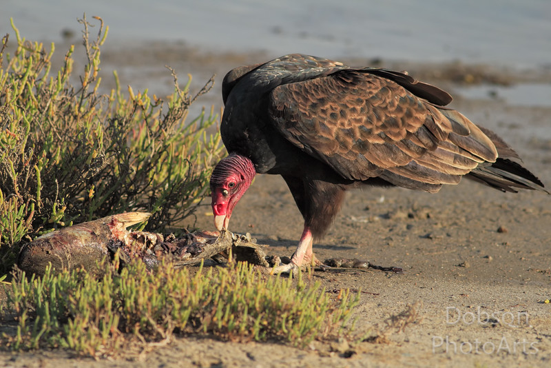 Turkey Vulture Dining on Carrion